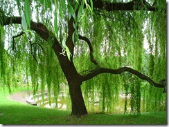 Weeping_Willow_by_Amy2121